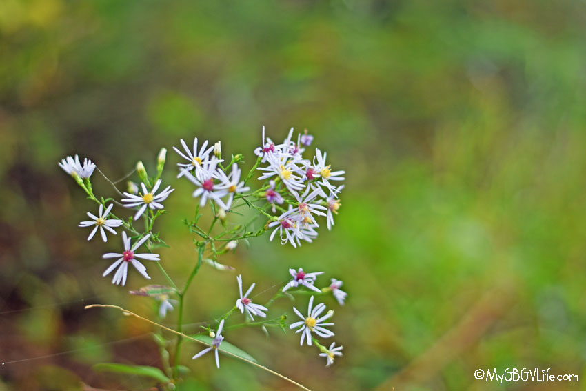 My GBGV Life flowers