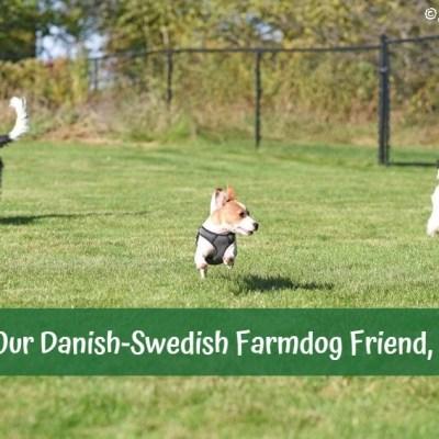 Meet Our Danish-Swedish Farmdog Friend, Birdie!