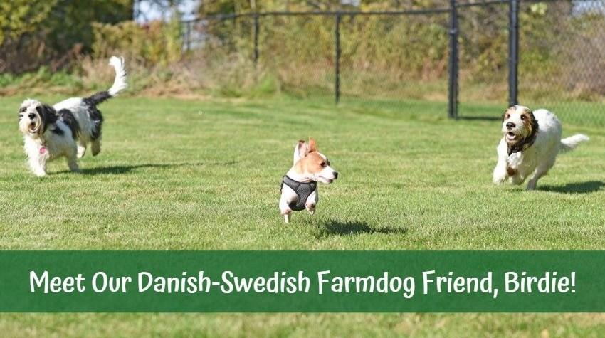 My GBGV Life Meet Our Danish-Swedish Farmdog Friend, Birdie!