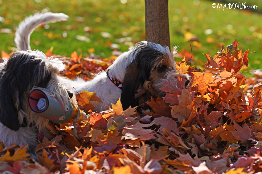 My GBGV Life Fall Leaves Make For Loads Of Backyard Fun