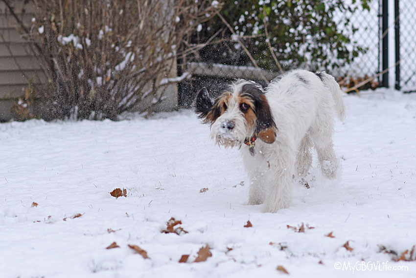 My GBGV Life A Puppy's First Snow Is The Best