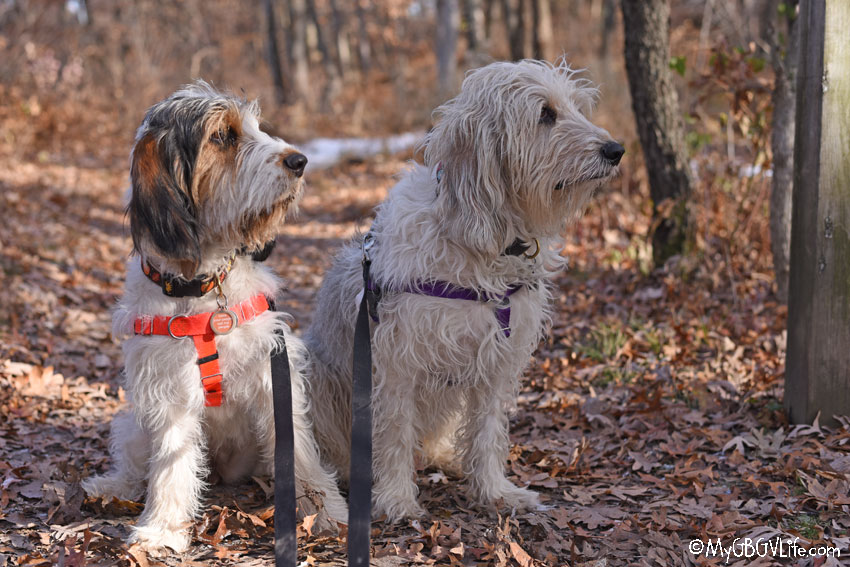 My GBGV Life A Fun Fall Walk In The Woods With The Dogs