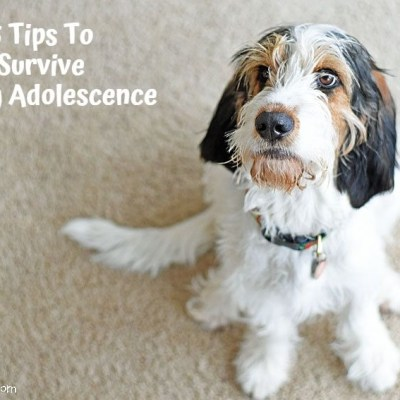 5 Tips To Survive Puppy Adolescence
