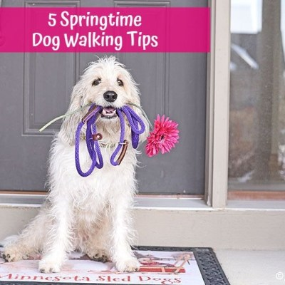 My GBGV Life 5 Springtime Dog Walking Tips
