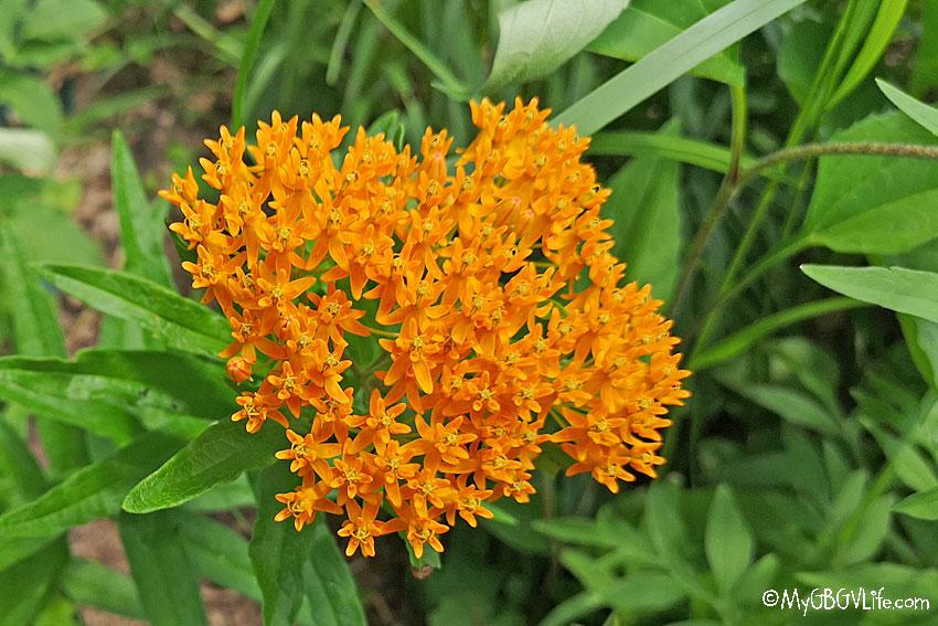My GBGV Life orange flowers