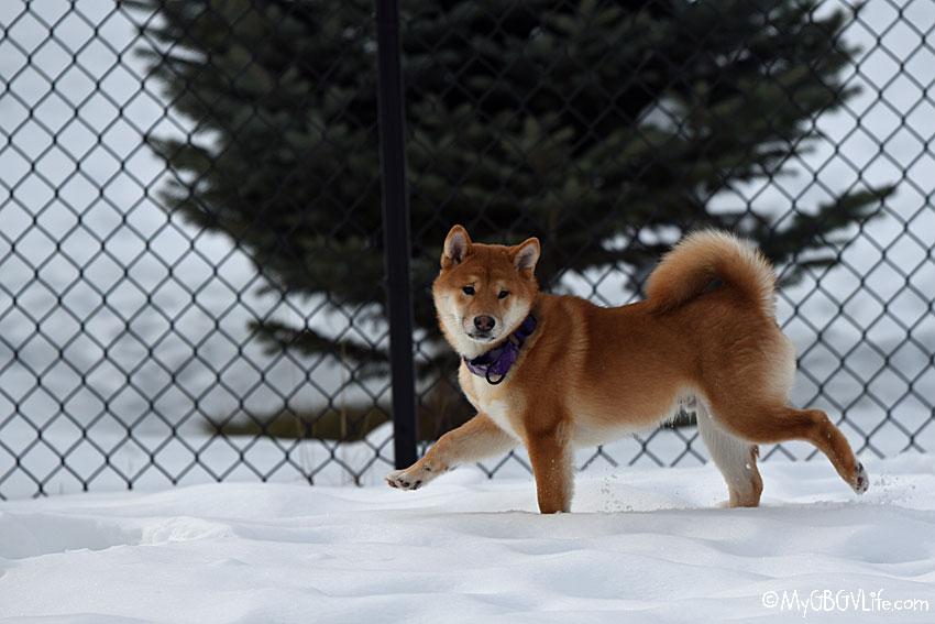 My GBGV Life puppy Marvel