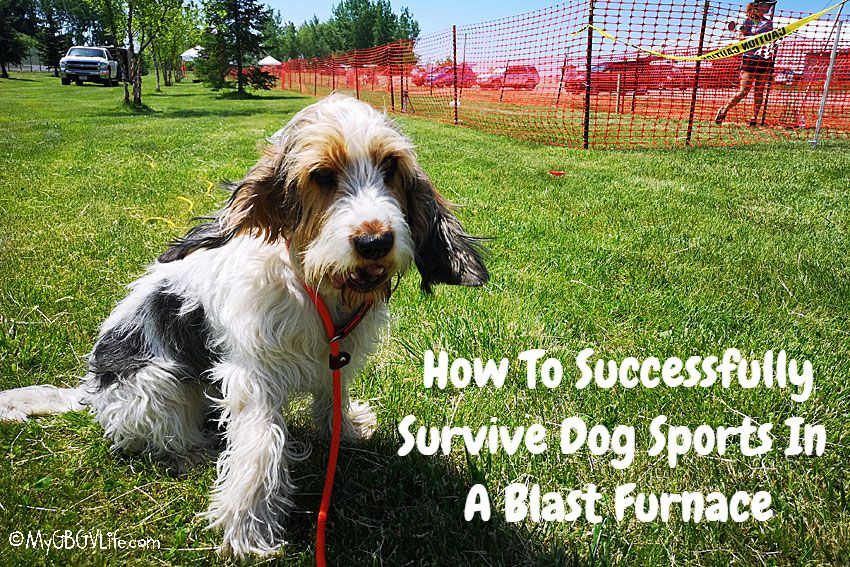 My GBGV Life How To Successfully Survive Dog Sports In A Blast Furnace