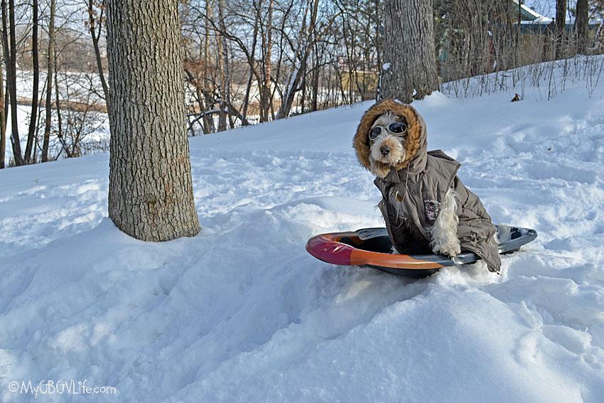 My GBGV Life sledding dog