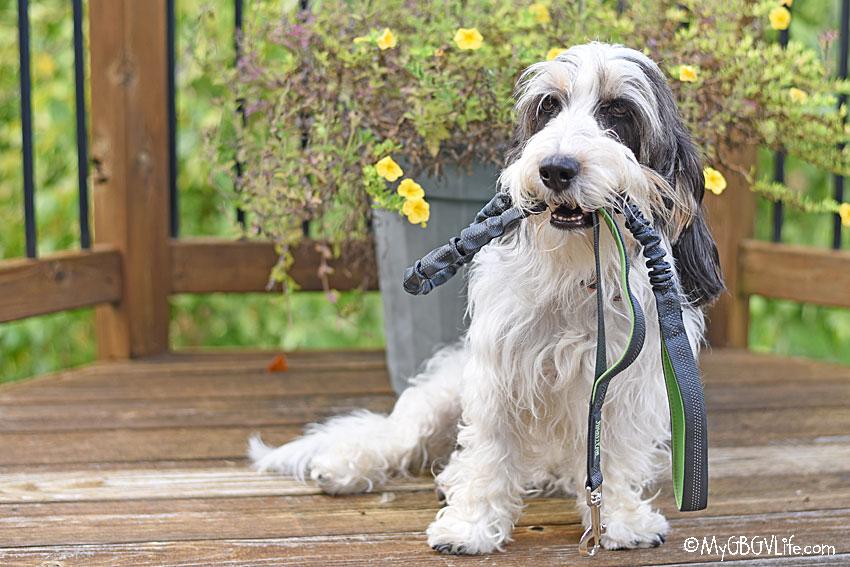 My GBGV Life Madison with leash