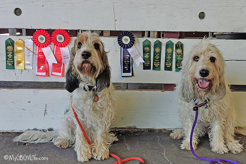 My GBGV Life Masters Titles And Q's From The Faribault Scent Work Trial