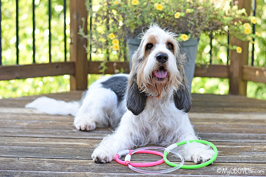 My GBGV Life 7 Dog Walking Tips For National Walk Your Dog Week