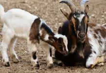Frogs and goats banned on American Airlines