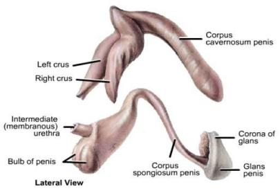 structure_of_penis1314857602805
