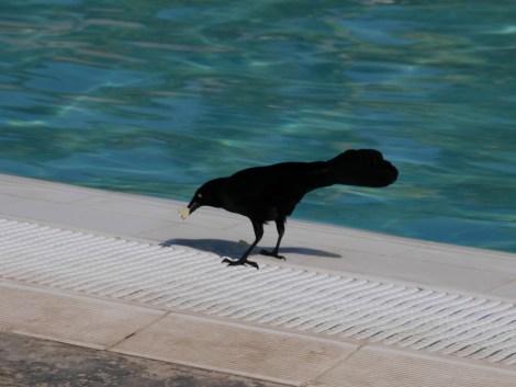 Le quiscale noir, fidèle compagnon de tes repas à Cuba