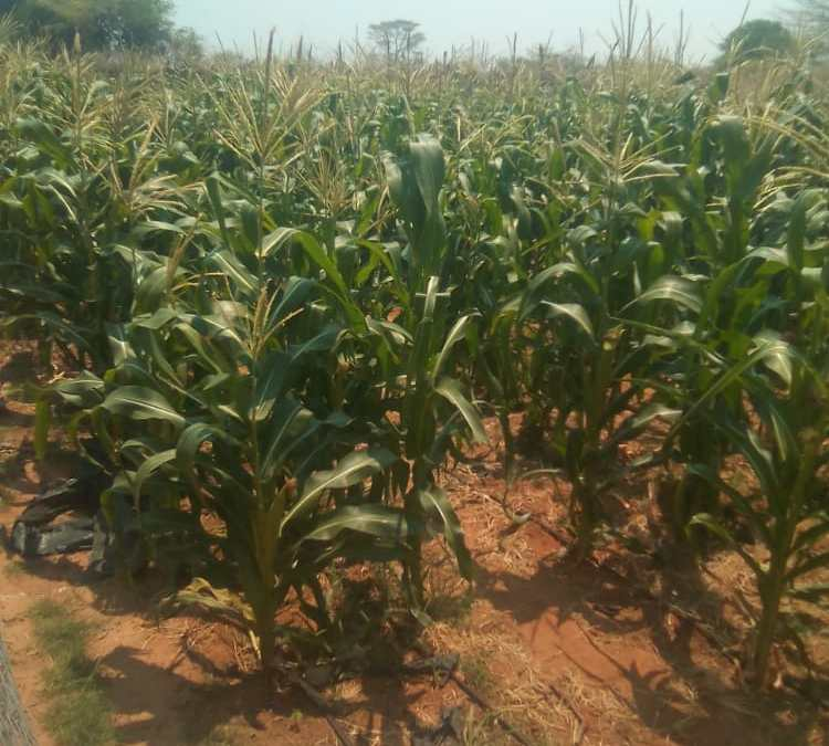 Gokwe Communal Farmers Urged To Experiment with Pfumvudza and Practice Intercroping
