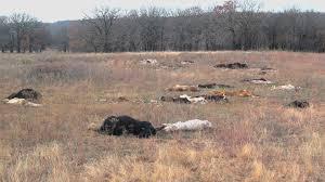 Midlands Communal Areas in Livestock Loses as Cattle Die