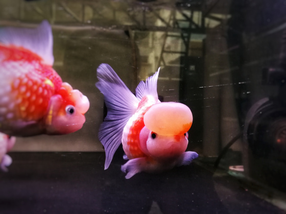Get Quotations Basic Staple Food Particles Enriched Feed Goldfish Ranchu Koi Fish Spirulina Brightening