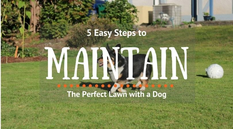 5-Easy-Steps-to-Maintain-the-Perfect-Lawn-with-a-Dog