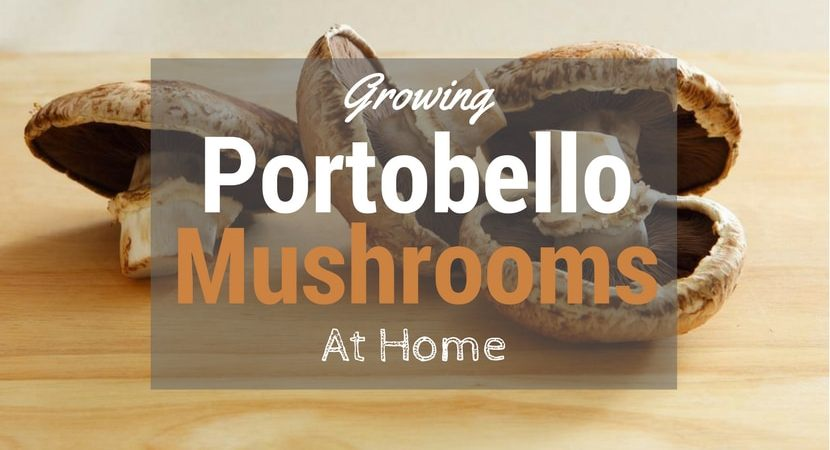 Growing-Portobello-Mushrooms-1