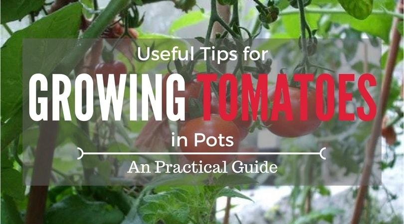 how-to-grow-tomatoes-in-pots-1