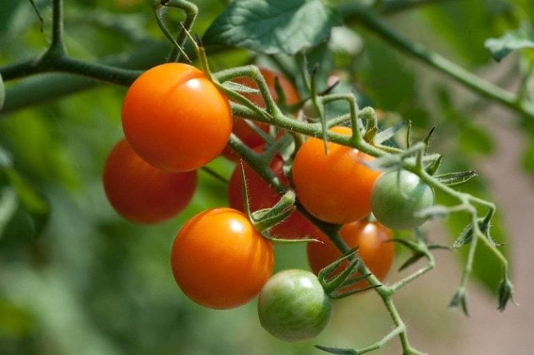 how-to-grow-tomatoes-in-pots-3