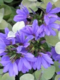 BLUE HOSPITAL FLOWER