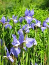 proud iris