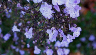 little blue