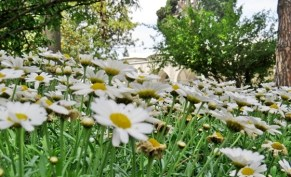 Topkapi flowers