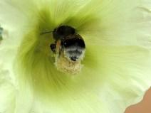 busy humble bee