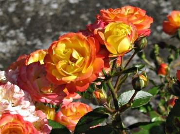 Simrishamn roses 2