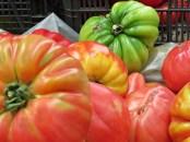 gaint tomatoes