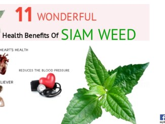 health benefits of Siam weed