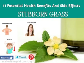 health benefits and side effects of stubborn grass