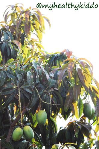 Mango in Pegnancy Recipes