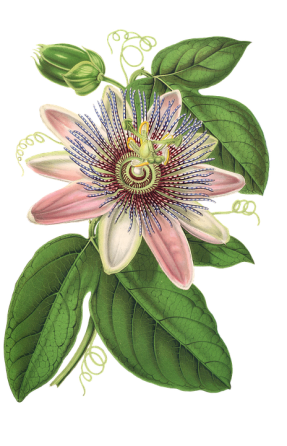 passion-flower-1944249_960_720