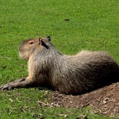 capybara at the zoo