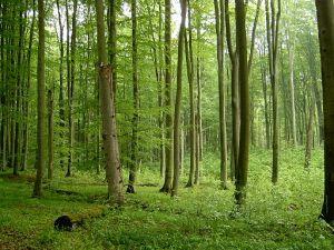 512px-Beech_forest_in_Źródliskowa_Buczyna_reserve_near_Szczecin