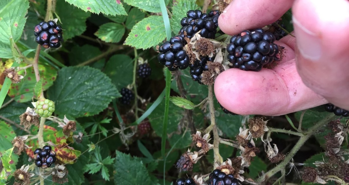 picking wild blackberries