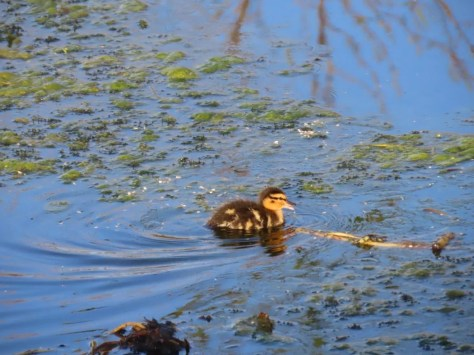 new batch of ducklings