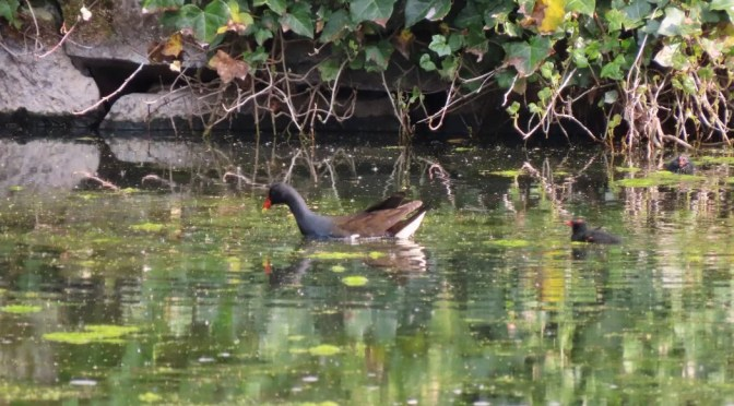 Moorhen chicks on the pond