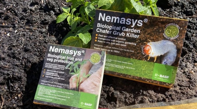 Adding nematodes to our raised beds