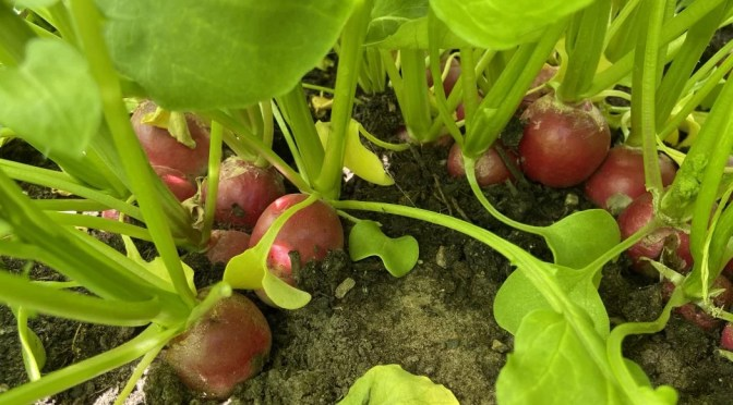 Our first ever veg patch – part six – planting, growing and harvesting