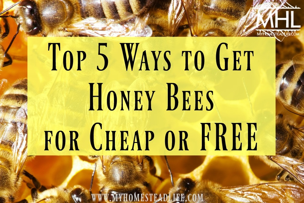 Top 5 ways you can find honey bees for cheap or free. Beekeeping for the frugal beekeeper and a person on a budget. Don't let money stop you from beekeeping