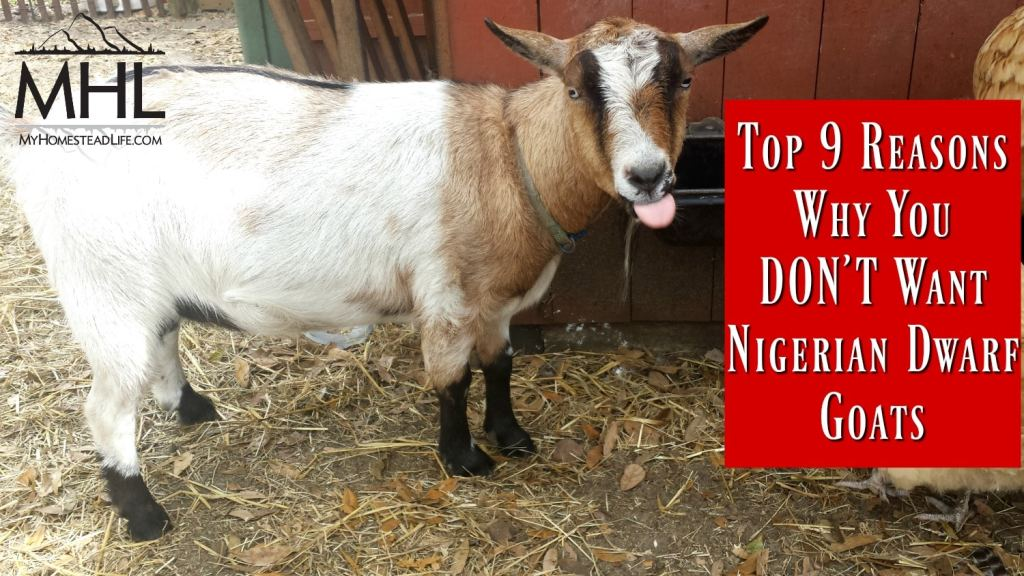 Top 9 reasons why you DON'T want Nigerian Dwarf Goats
