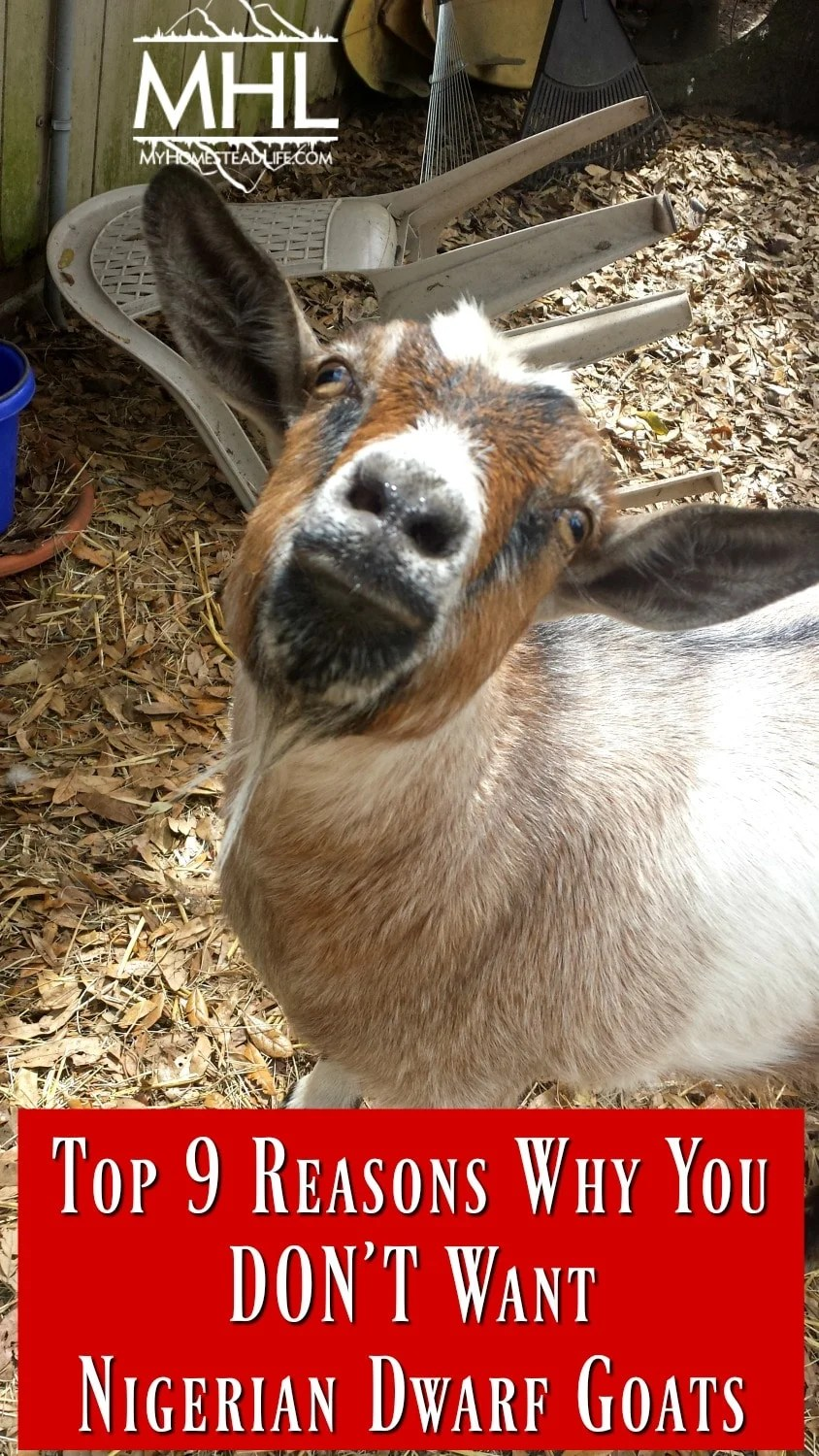 Top 9 reasons why you don't want Nigerian Dwarf Goats.