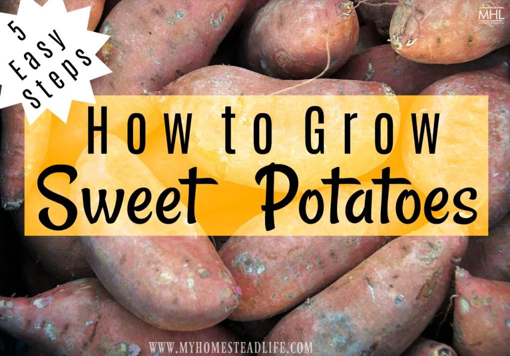 how-to-grow-sweet-potatoes