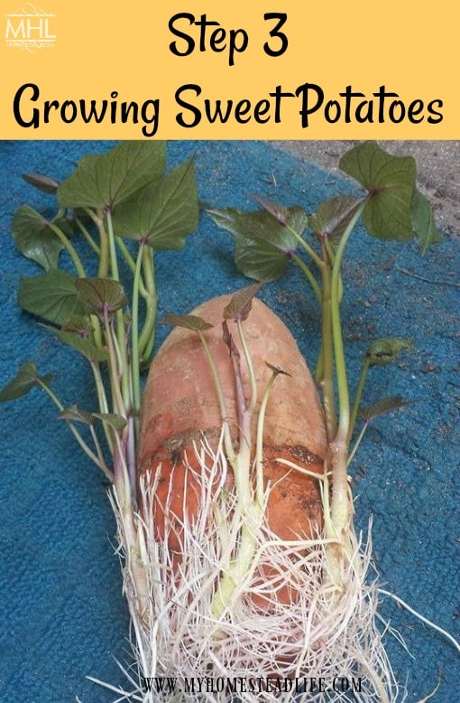 how-to-grow-sweet-potato-slips