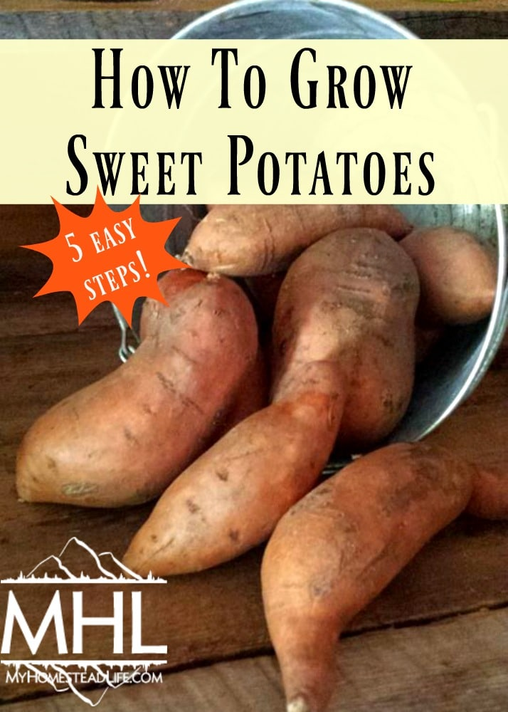 How to Grow Sweet Potatoes in 5 Easy Steps