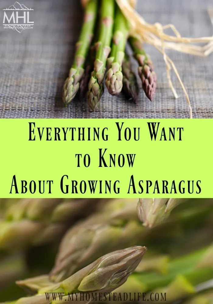 growing-asparagus